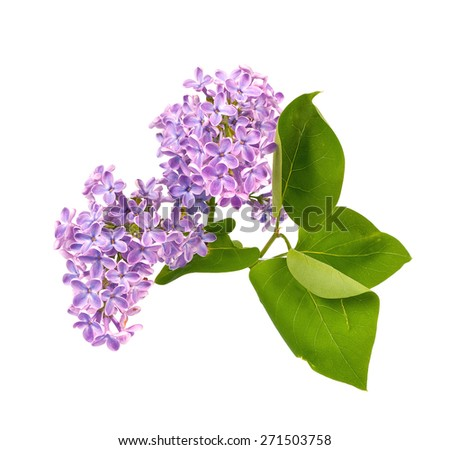 Lilac blossom with leaves isolated on white background - stock photo