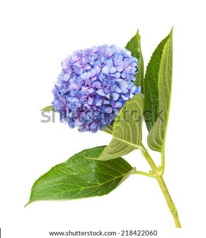 lilac-blue hydrangea isolated on white background - stock photo
