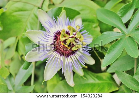 lilac blue passion flower - stock photo