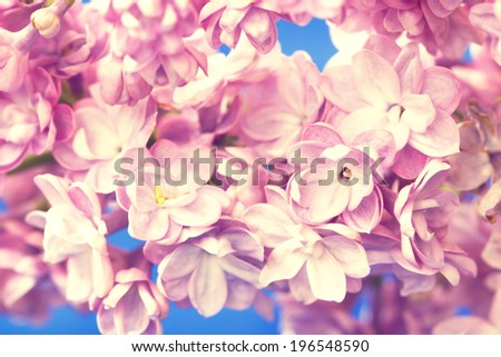 lilac branch close up - stock photo