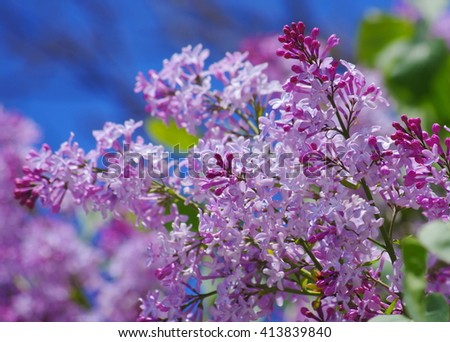 Lilac branch on a background of blue sky. Delicate flowers. Lilac flowers on blue sky background close up. Blooming purple lilac - stock photo