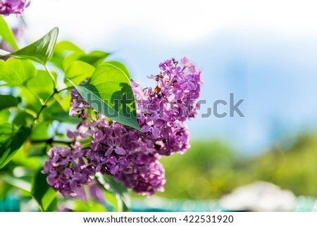 Lilac branch on a background of blue sky with clouds. Delicate flowers. Lilac flowers on blue sky background close up. Blooming purple lilac - stock photo