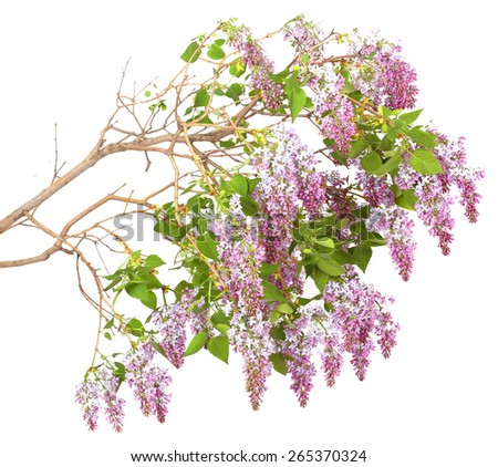 lilac branch on a white background - stock photo