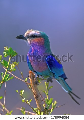 Lilac-breasted Roller (Coracias caudata) in Kruger National Park South Africa - stock photo