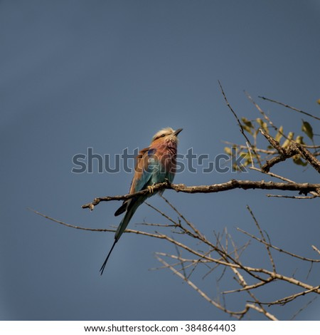 lilac breasted roller  (Coracias caudata) in Timbavati Nature Reserve, South Africa