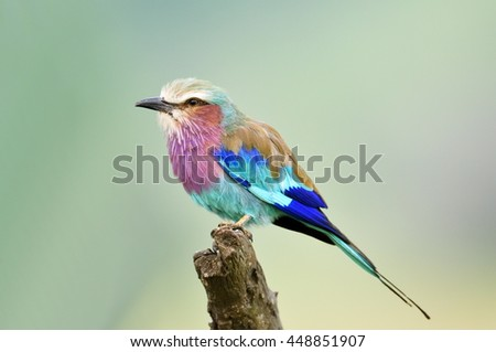 Lilac-breasted Roller (Coracias caudata) outdoor