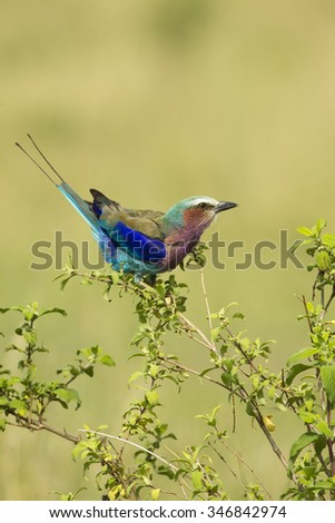 Lilac-breasted Roller, Coracias caudata, sitting on acacia branch, Masai Mara Game Reserve, Kenya, East Africa