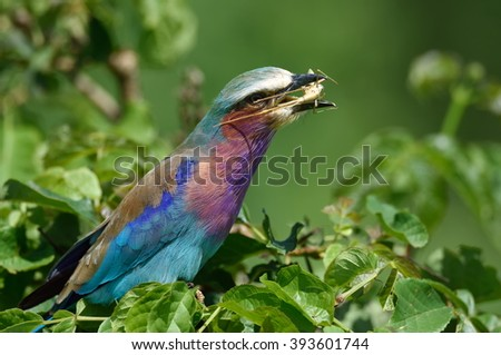 Lilac-breasted Roller (Coracias caudata) with catch