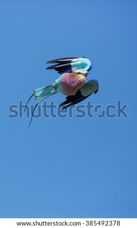 Lilac breasted roller in flight in Moremi in Botswana - stock photo