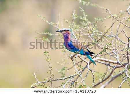 lilac breasted roller on a bush - national park selous game reserve in tanzania - stock photo