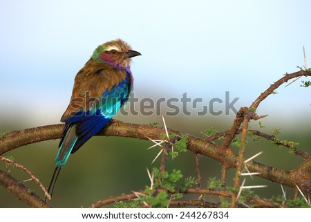 Lilac-breasted roller sitting on a branch of acacia in savanna - stock photo