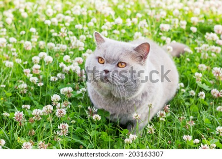 lilac british cat sitting on a summer floral lawn