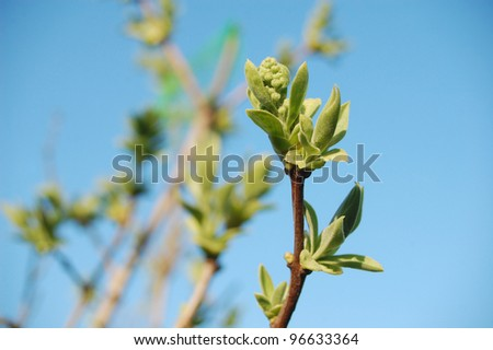Lilac buds and leafs in springtime.