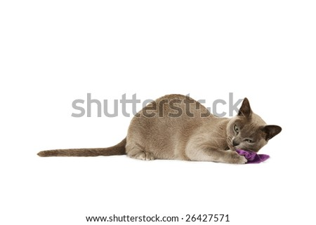 Lilac Burmese playing with cat nip bag