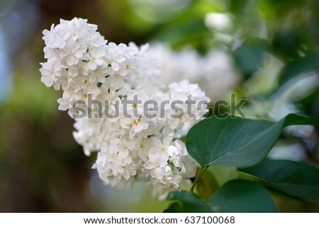 Lilac bush, lilac background. spring Sunny background with lilac flowers in the sunlight.