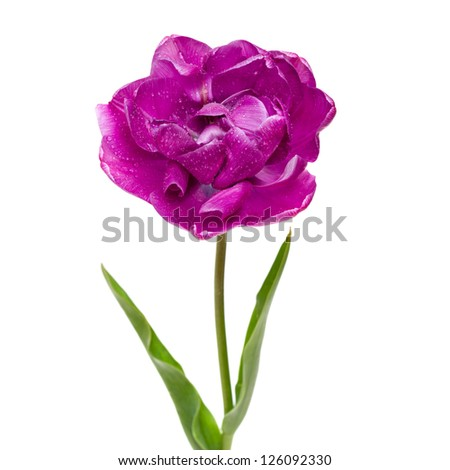 Lilac Double Peony Tulip isolated on white - stock photo