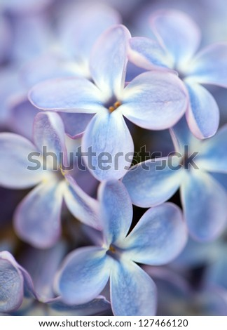 lilac flower close up - stock photo