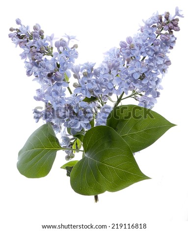Lilac flower isolated on white. - stock photo