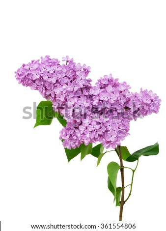 stock-photo-lilac-flower-isolated-on-whi
