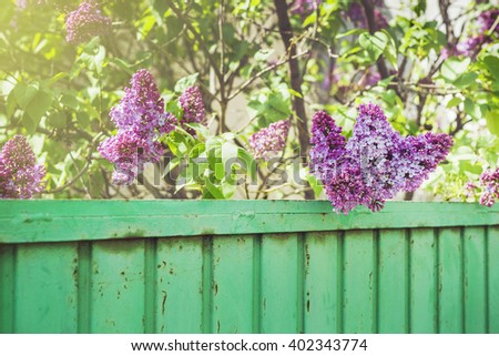 Lilac flower over the green fence. Lilacs in garden/Lilacs over the green fence - stock photo