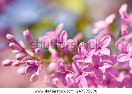 Lilac flowerets bright pink inflorescence grow in garden, ornamental shrub zoom vibrant colors in sunlight, flowering Syringa vulgaris in spring season, beautiful flowers in sunny day, nature detail - stock photo