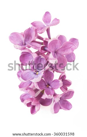 Lilac flowers bunch isolated on white background - stock photo
