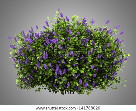 lilac flowers bush isolated on gray background - stock photo