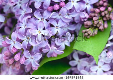 lilac flowers, close up - stock photo
