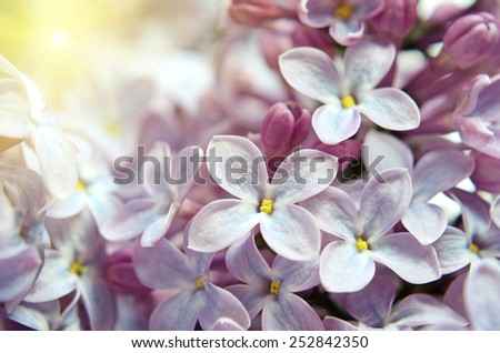 Lilac flowers close up in pastel colors - stock photo