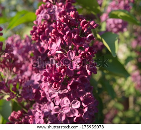 lilac flowers during flowering, spring day - stock photo
