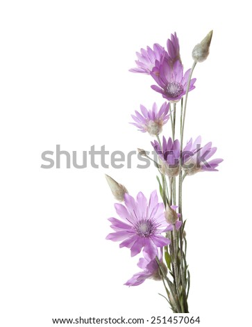 Lilac flowers (immortelle)  isolated on white background. Xeranthemum annuum - stock photo