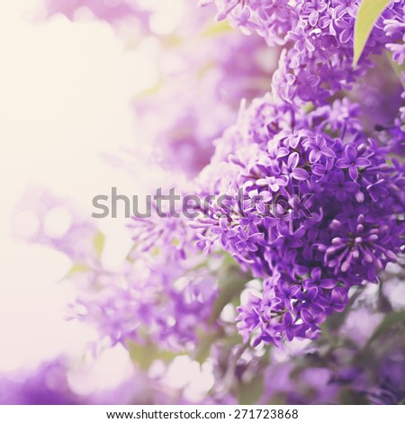 Lilac flowers in spring. Natural pastel colors. Tender beauty.