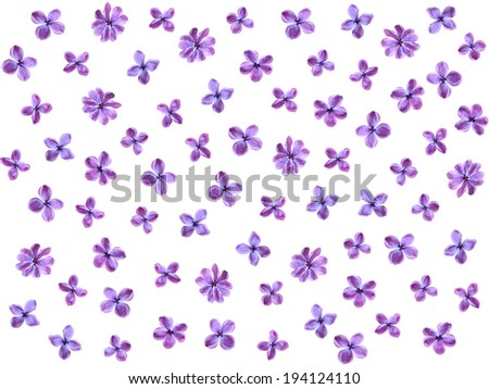 lilac flowers  isolated on white background, place for text - stock photo