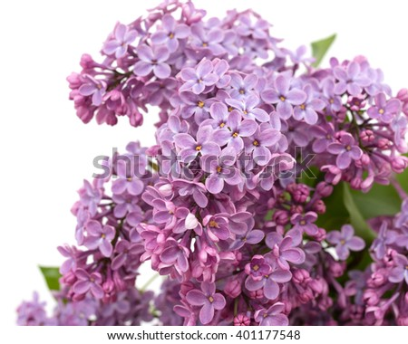 lilac flowers on a white background - stock photo