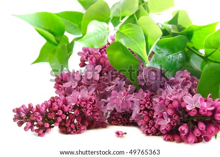 lilac flowers over white - stock photo
