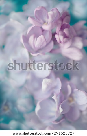 Lilac flowers - soft background