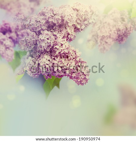 Lilac flowers tree  - stock photo