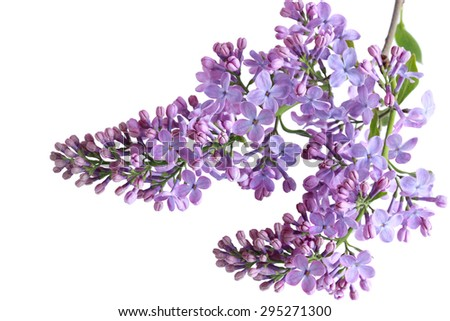Lilac flowers twig isolated on white background - stock photo