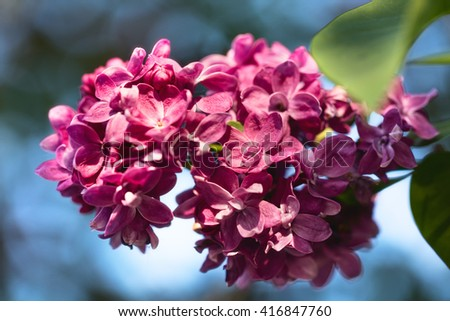 Lilac flowers with green leaves in spring day. Macro image of spring lilac violet flowers, abstract soft floral background. - stock photo