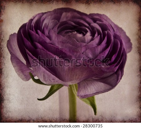 Lilac persian buttercup on texture - stock photo