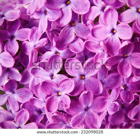 lilac pink flowers close up - stock photo