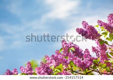 Lilac pink inflorescences grow in garden, ornamental shrub vibrant colors in sunlight, flowering Syringa vulgaris in spring season, beautiful flowers in sunny day and blue sky nature detail horizontal - stock photo