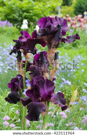 Lilac, purple irises in the garden. Iris flower, close up view of petals.  Green scenery in the garden and fresh flowers. - stock photo