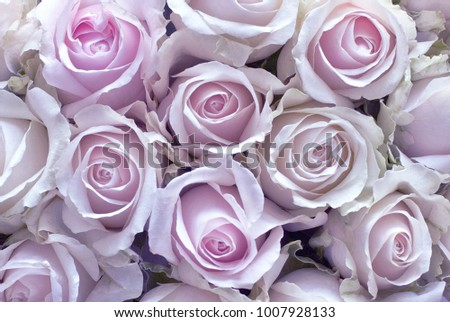 Lilac Roses as a background