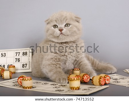 Lilac Scottish kitten playing in a bingo. - stock photo