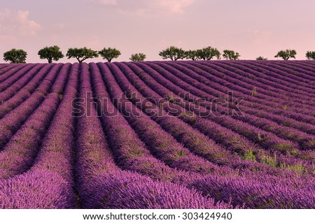 lilac sunrise at summer lavender field near Valensole, Provence, France  - stock photo