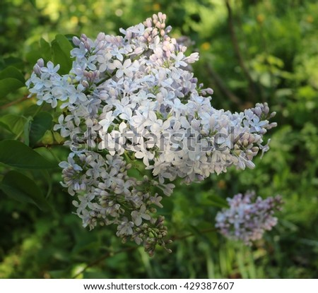 Lilac (Syringa) - beautiful flowering shrubs in gardens dekoratinye
