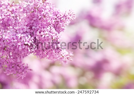Lilac vibrant pink inflorescence shrub bright colors in sunlight, flowering Syringa vulgaris in early spring season, beautiful flowers in sunny day, nature detail, horizontal orientation, nobody. - stock photo