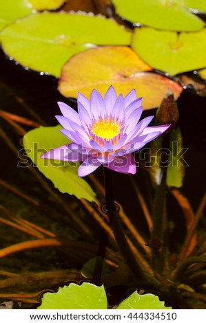 lilac water lily with lotus leaf on pond - stock photo
