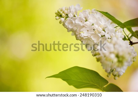 Lilac white flowers bloom bright inflorescence and green leaf grow in garden, ornamental shrub zoom vibrant warm colors, flowering Syringa vulgaris in spring season, beautiful flowers nature detail - stock photo